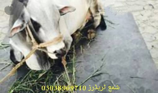 Cow mats available in all pakistan 2