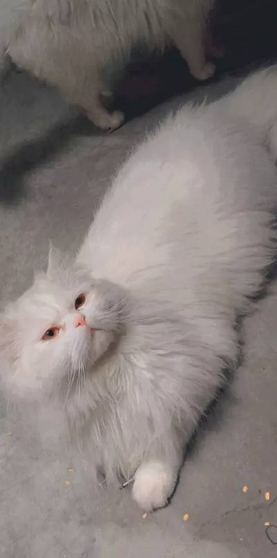 Male cat available for sutd meteneg coros 5