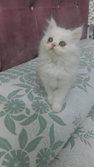 Pure and Home Bred Persian Kittens 7