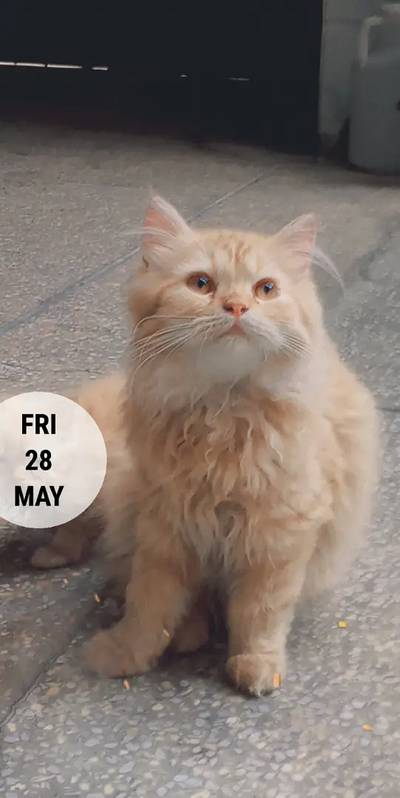Show quality Male Persian kittens 2
