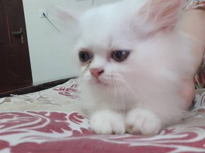 Pure Persian semi punch kittens for sale 7