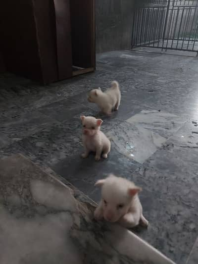 Russian Puppies for sale 15