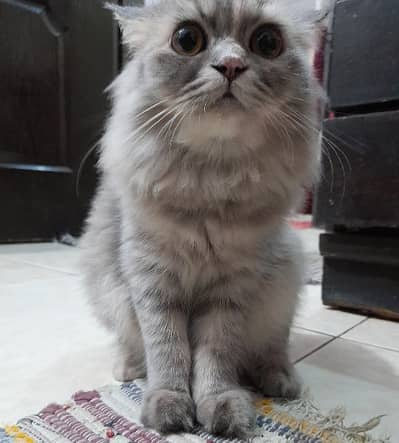 Persian Kittens at Discounted Price 1