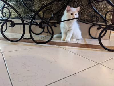 3 and a half month Persian kittens 3